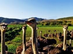 Avia - Ostrich_Farm_22.jpg