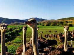 Avia - Ostrich_Farm_23.jpg
