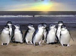 Avia - Phillip_Island_Penguins_2_Medium15.JPG