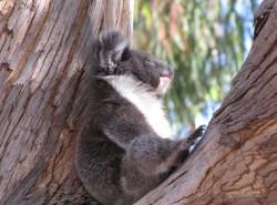 Avia - hanson_bay_koala_sanctuary2.jpg