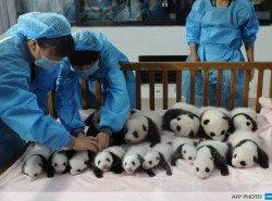 Avia - panda_breeding_base11.jpg