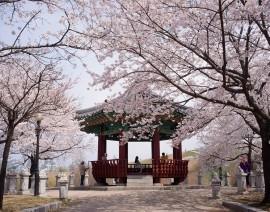 Avia Tour - G'DAY KOREA JEJU CHERRY BLOSSOM + EVERLAND