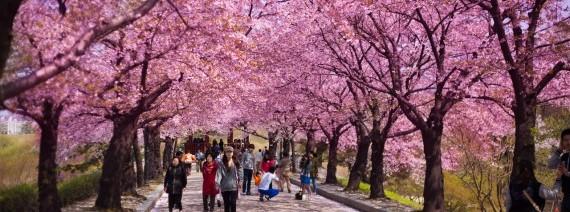 Avia Tour - GDAY KOREA JEJU CHERRY BLOSSOM + FLOWER FESTIVAL