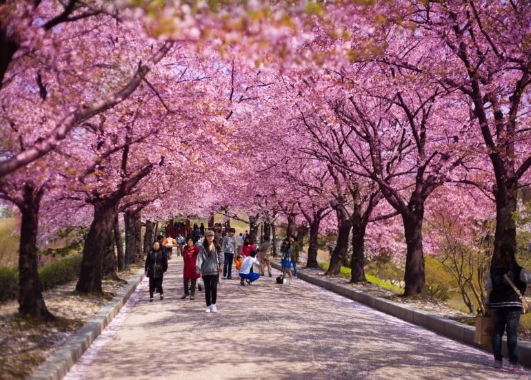 Tour - GDAY KOREA JEJU CHERRY BLOSSOM + FLOWER FESTIVAL