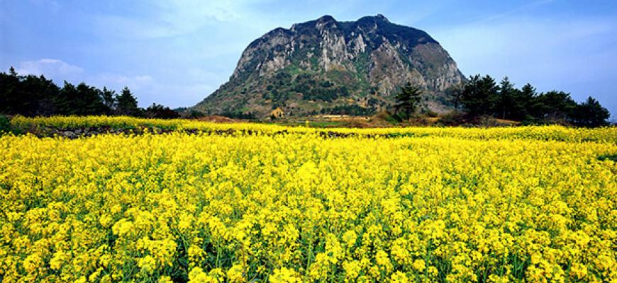 GDAY KOREA JEJU CANOLA & CHERRY BLOSSOM + MT. SORAK-1